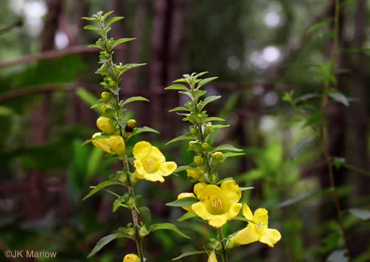 flower of Aureolaria virginica, Downy False Foxglove, Downy Oak-leach, Virginia Oak-leach, Downy Yellow False Foxglove