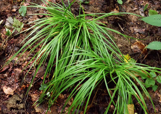 image of Carex austrocaroliniana, South Carolina Sedge