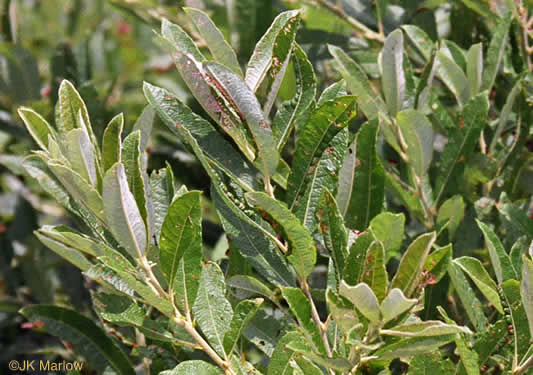 image of Salix humilis, Prairie Willow, Upland Willow