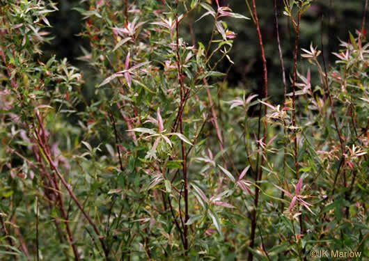image of Salix sericea, Silky Willow, Shrub Willow, Satin Willow