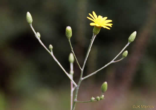 Pityopsis graminifolia var. latifolia, Grass-leaved Golden-aster, Grassleaf Aster