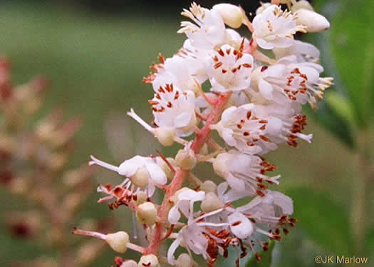 image of Clethra alnifolia, Coastal Sweet-pepperbush, Coastal White-alder