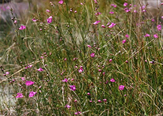 image of Agalinis purpurea, Purple Gerardia, Purple False Foxglove