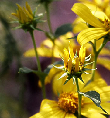 Helianthus divaricatus, Woodland Sunflower, Spreading Sunflower