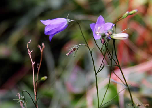 flower of Campanula rotundifolia, Scotch Harebell, Bluebell, Bluebell-of-Scotland
