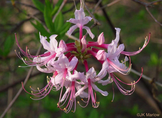 berry: Rhododendron periclymenoides, Rhododendron periclymenoides, Rhododendron nudiflorum