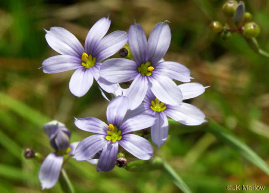 flower of Sisyrinchium atlanticum, Atlantic Blue-eyed Grass, Eastern Blue-eyed Grass