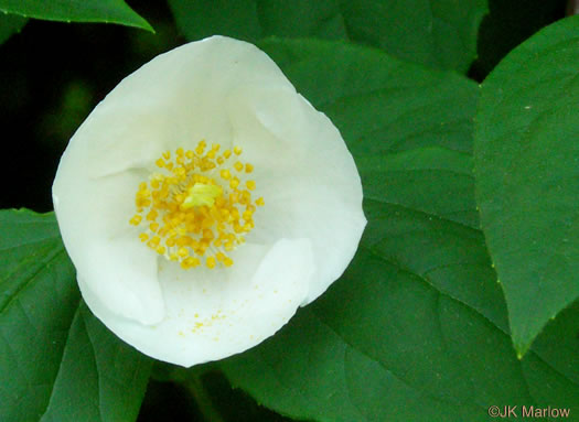 calyx: Philadelphus inodorus, Appalachian Mock-orange