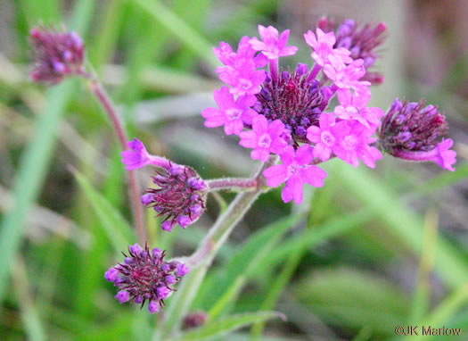 flower of Verbena rigida, Stiff Verbena