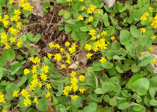 image of Packera serpenticola, Buck Creek Ragwort