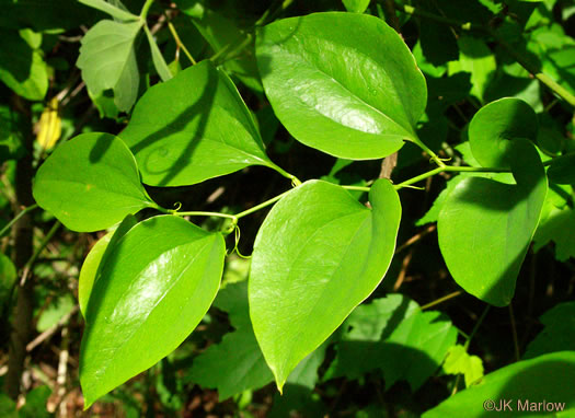coriaceous: Smilax rotundifolia, Common Greenbrier, Common Catbrier, Bullbrier, Horsebrier