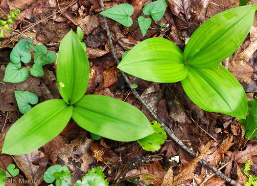 image of Veratrum parviflorum, Mountain Bunchflower, Small-flowered Hellebore, Small False Hellebore