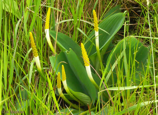Orontium aquaticum, Golden Club, Never-wet, Bog Torches