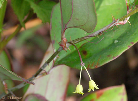 image of Smilax rotundifolia, Common Greenbrier, Common Catbrier, Bullbrier, Horsebrier