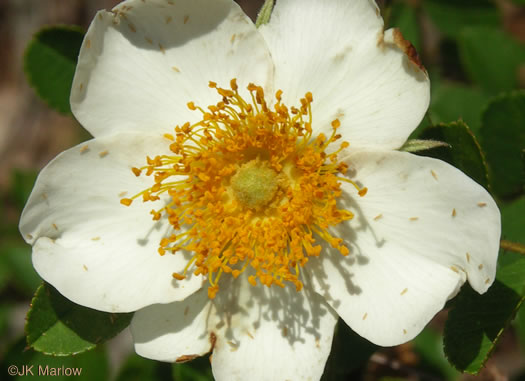 flower of Rosa bracteata, McCartney Rose, Chickasaw Rose