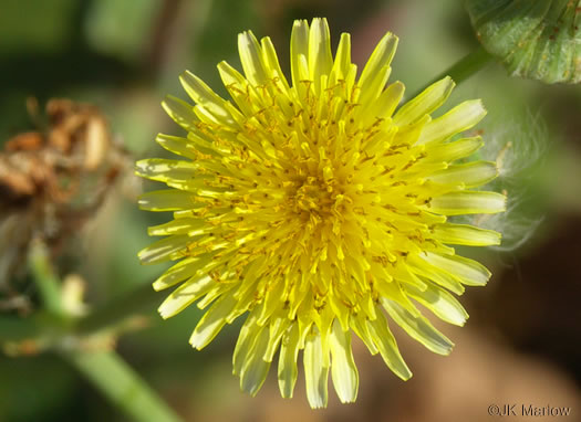 flower of Sonchus oleraceus, Annual Sowthistle, Common Sowthistle