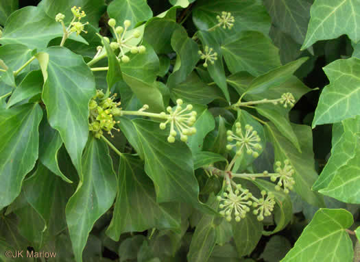 flower of Hedera helix var. helix, English Ivy, Common Ivy