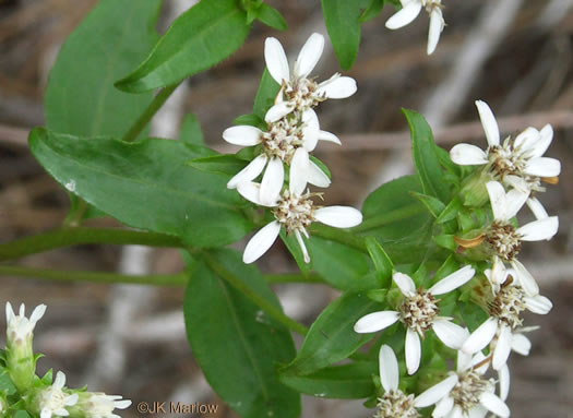 flower of Sericocarpus asteroides, Toothed White-topped Aster