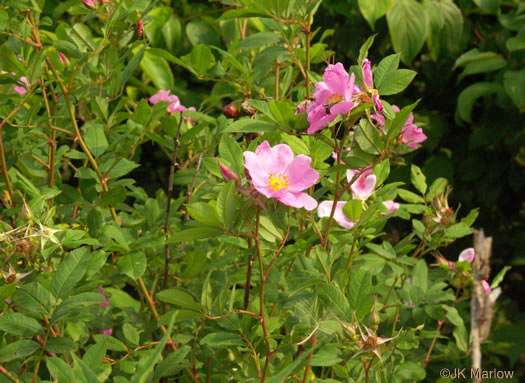 prickles: Rosa palustris, Rosa palustris, Rosa palustris