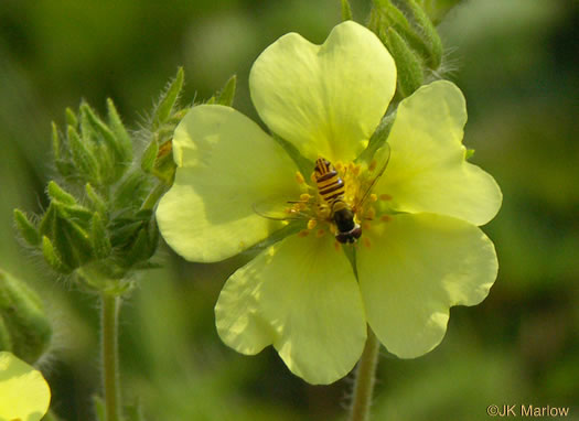 image of Potentilla recta, Rough-fruited Cinquefoil, Sulphur Cinquefoil, Sulphur Five-fingers