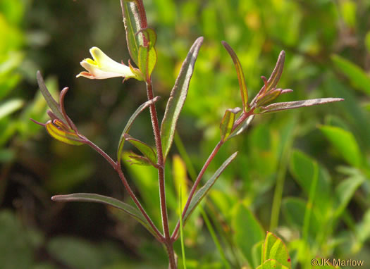 image of Melampyrum lineare +, Cow-wheat