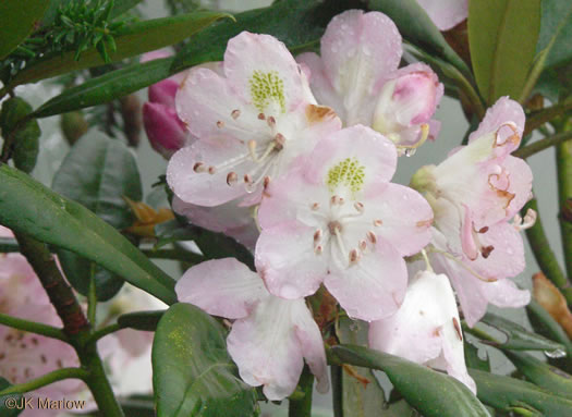 flower of Rhododendron maximum, Rosebay Rhododendron, Great Laurel, White Rosebay, Great Rhododendron