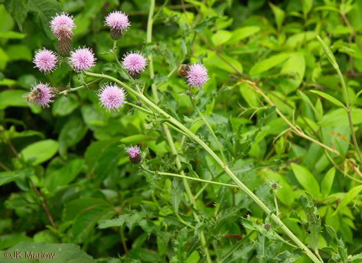 image of Cirsium arvense, Canada Thistle, Field Thistle