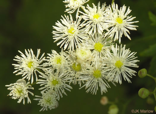 image of Trautvetteria caroliniensis, Carolina Tassel-rue, Carolina Bugbane, False Bugbane
