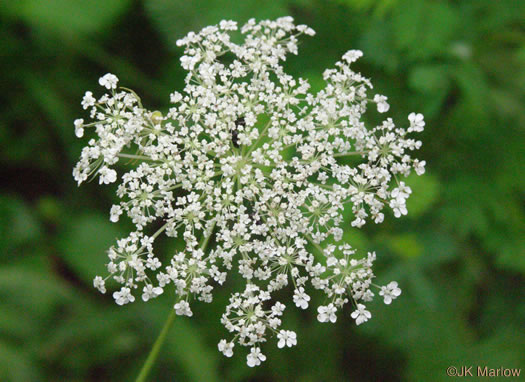 flower of Daucus pusillus, American Queen Anne's Lace, American Wild Carrot
