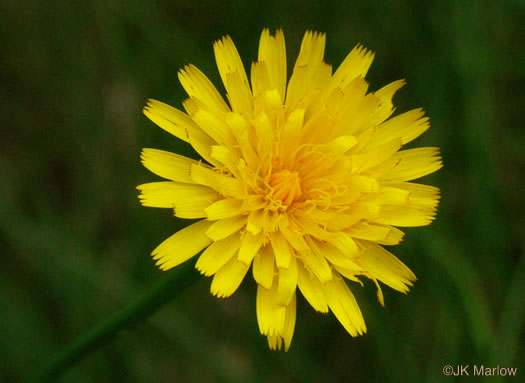 flower of Hypochaeris radicata, Spotted Cat's-ear, Cat's Ear Dandelion