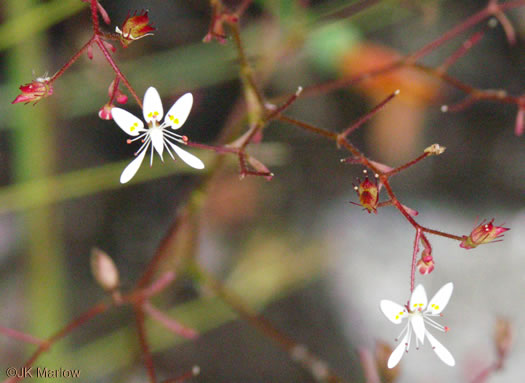 flower of Micranthes petiolaris, Michaux's Saxifrage, Cliff Saxifrage