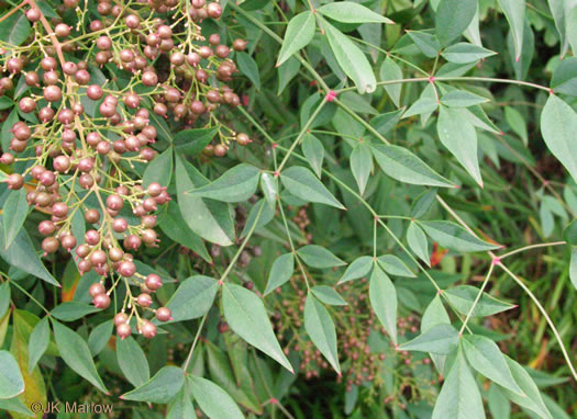 image of Nandina domestica, Nandina, Heavenly-bamboo, Sacred-bamboo