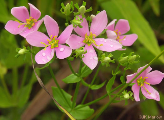 picture of Sabatia angularis, image of Sabatia angularis