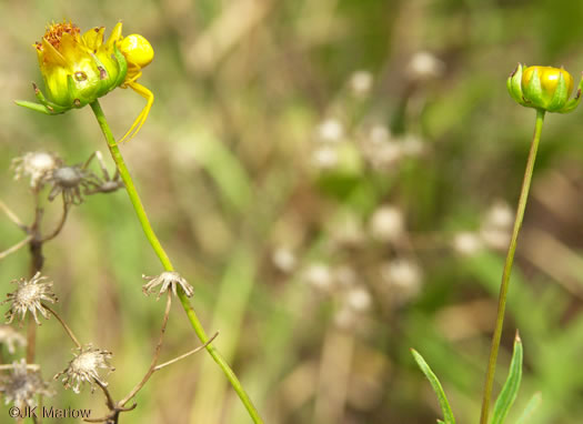image of Coreopsis grandiflora var. grandiflora, Large-flowered Coreopsis, Large-flower Tickseed