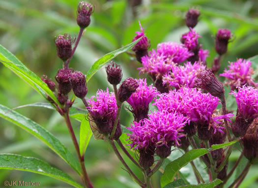 flower of Vernonia noveboracensis, New York Ironweed