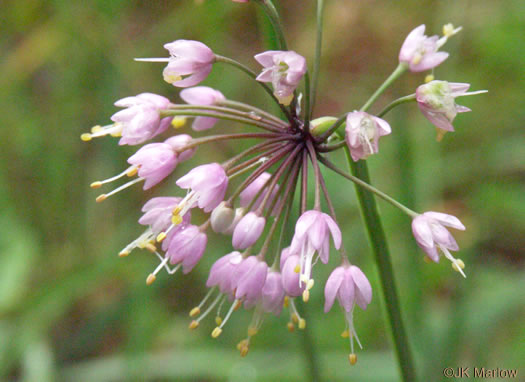 flower of Allium cernuum, Nodding Onion, Nodding Wild Onion