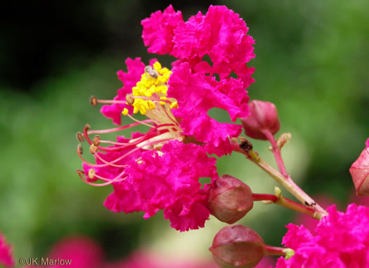 flower of Lagerstroemia indica, Crape-myrtle