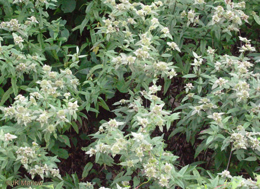 rhizome: Pycnanthemum montanum, Appalachian Mountain-mint, Thinleaf Mountain-mint