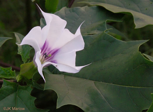 flower of Datura stramonium, Jimsonweed