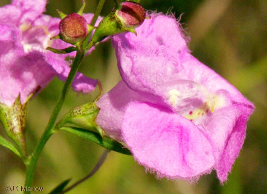 calyx: Agalinis purpurea, Purple Gerardia, purple false foxglove