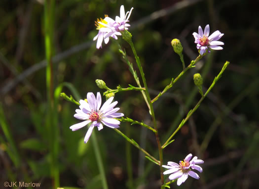 flower of Symphyotrichum concinnum, Narrowleaf Smooth Blue Aster, Harmonious Aster