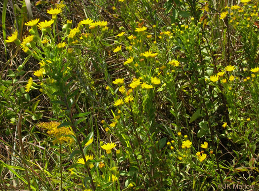 image of Chrysopsis mariana, Maryland Golden-aster