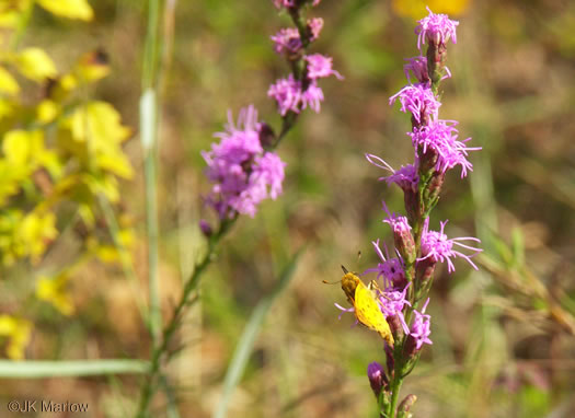 image of Liatris pilosa, Grassleaf Blazing-star, Shaggy Blazing-star