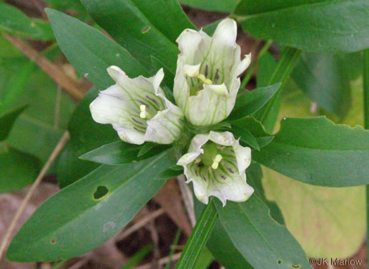 flower of Gentiana villosa, Striped Gentian
