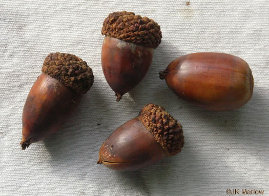 fruit of Quercus alba, White Oak