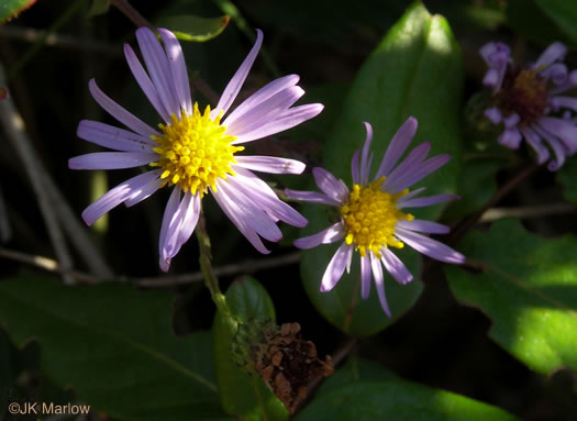 image of Symphyotrichum patens var. patens, Late Purple Aster, Common Clasping Aster, Late Blue Aster, Skydrop Aster