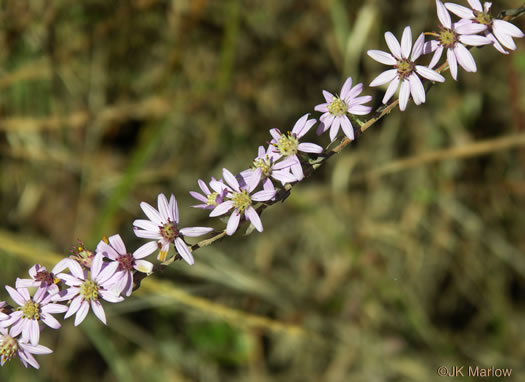 image of Symphyotrichum concolor var. concolor, Eastern Silvery Aster