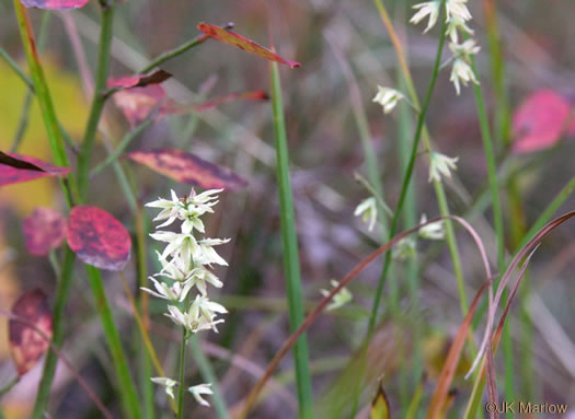 image of Stenanthium gramineum, Featherbells