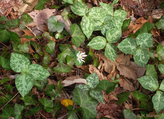 image of Trillium cuneatum, Little Sweet Betsy, Purple Toadshade
