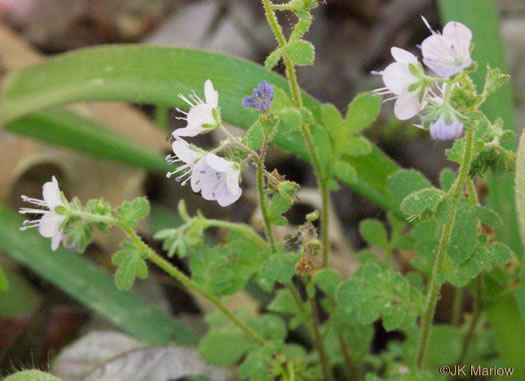 image of Phacelia dubia var. dubia, Smallflower Phacelia, Appalachian Phacelia, Small-flowered Scorpion Weed